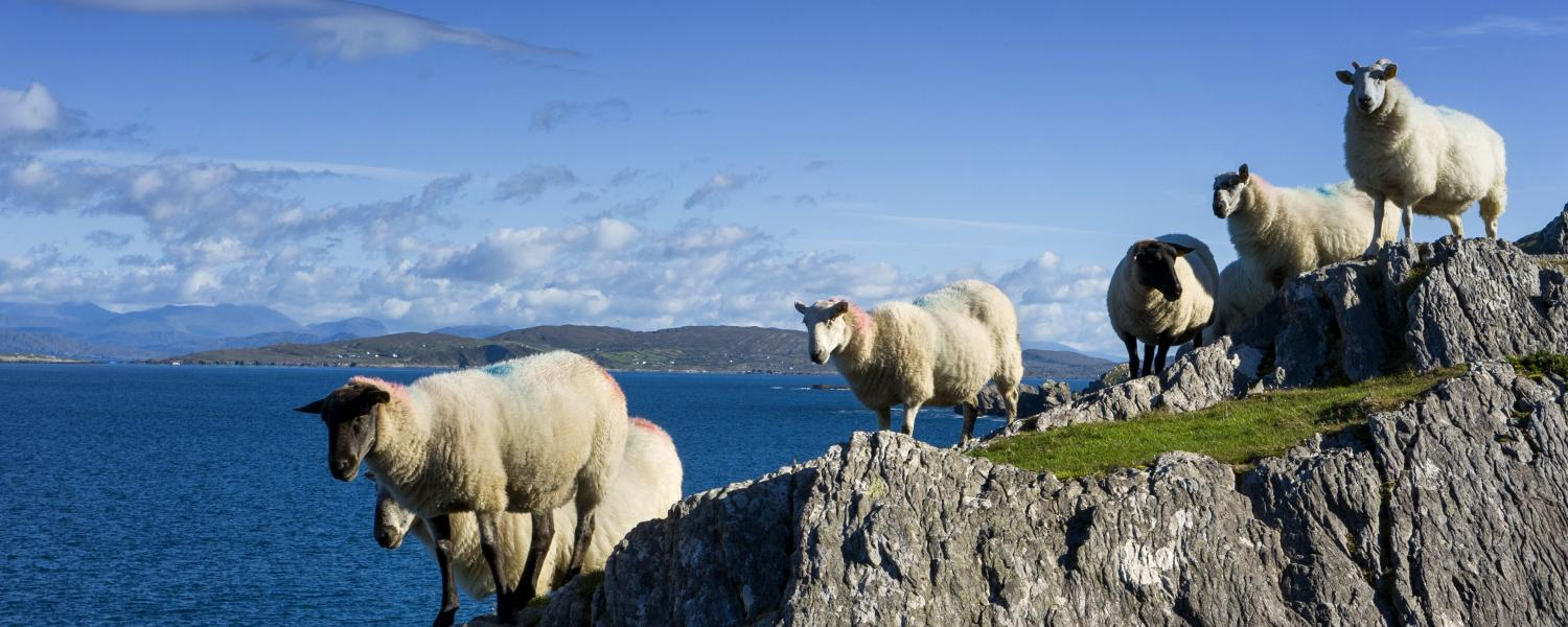 Sheep on the rocks